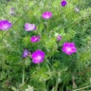 Цветы в альпийских лугах Абхазии.