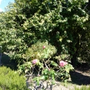 В верхнем парке Сочинского Дендрария цветут розы.