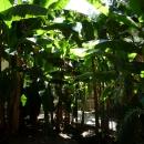 Банановые пальмы. Дендрарий. Сочи.