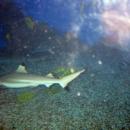 Акула в океанариуме Ейска.