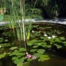 Водные растения в Ботаническом саду Сухума.
