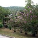 Цветущие деревья в парке Гагры.