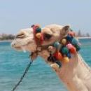 Верблюды в Египте, прогулки на верблюдах.
