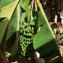Банановый рай. Доминикана.