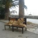 Львица у пляжа в Гагре. Абхазия.
