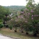 Цветущие деревья в парке. Гагра.