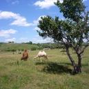 Верблюды в Сафари-парке «Кудыкина гора»
