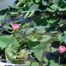 Цветок индийского розового лотоса.