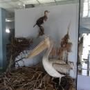 Чучело кудрявого пеликана в музее Скадарское озеро.