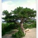 Можжевеловое дерево Курорт Новый Свет