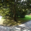 Магнолии в парке Ривьера. Сочи.