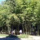 Курорт Пицунда. Бамбуковая роща. Абхазия.