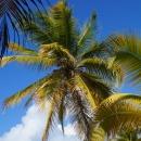 Кокосовая пальма Кана.