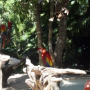 Попугаи на курорте Пунта-Кана. Доминикана.
