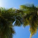 Пальмы курорта Пунта-Кана. Доминикана.
