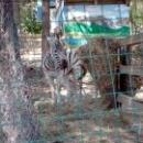 Зебра в Сафари-парке, Геленджик.