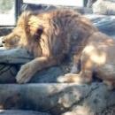 Лев в Сафари-парке в Геленджике.