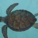 Морские черепахи. Доминиканская Республика.