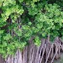 Мангровые заросли у берегов острова Саона.