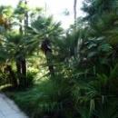 Пальмовая аллея. Сухумский Ботанический сад.