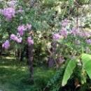 Цветущие деревья Сухума. Абхазия.