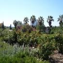 Розарий в Верхнем парке Дендрарий на фоне пальм. Сочи.