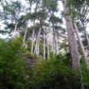 Реликтовые деревья по дороге к водопаду Учан-Су.