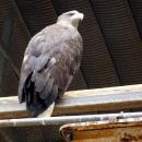 Орлан белохвост в Липецком зоопарке.