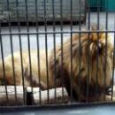Лев в Липецком зоопарке.