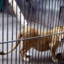 Львица в Липецком зоопарке.