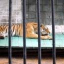 Тигр в зоопарке города Липецк.