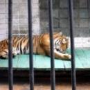 Тигр в Липецком зоопарке.