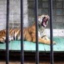 Тигр в Зоологическом парке Липецка.