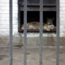 Пума в Липецком зоопарке.