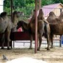 Двугорбые верблюды в Липецком зоопарке.