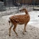 Пятнистый олень в Липецком зоопарке.