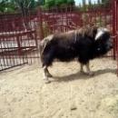Овцебык в Липецком зоопарке.