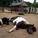 Пони отдыхают в Липецком зоопарке.