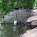 Черный лебедь и кудрявый пеликан в озере Липецкого зоопарка.