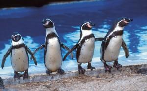 Пингвины Гумбольдта в Анапе