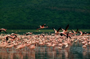 Озеро Накуру в Кении, Фламинго