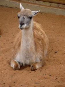 Гуанако в Липецком зоопарке.