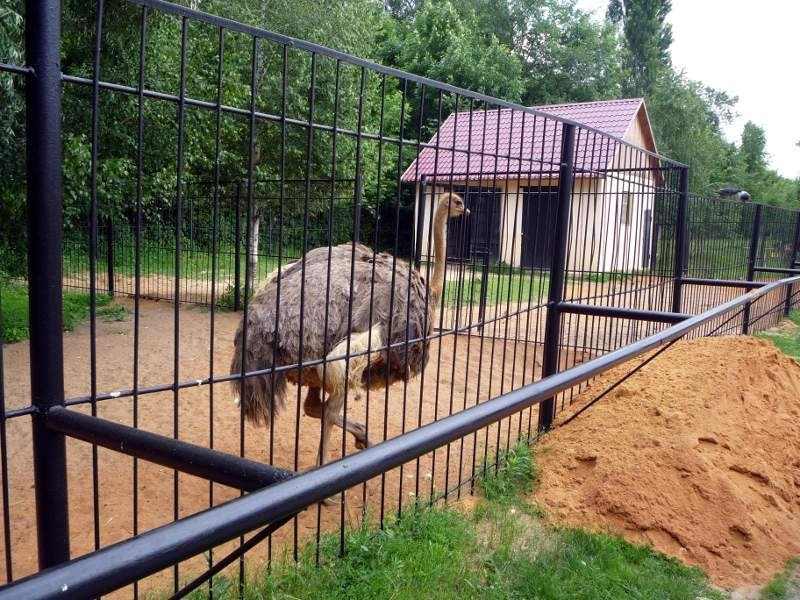 Страусы в зоопарке города Липецк.