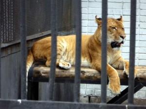 Лигр в Липецком зоопарке.